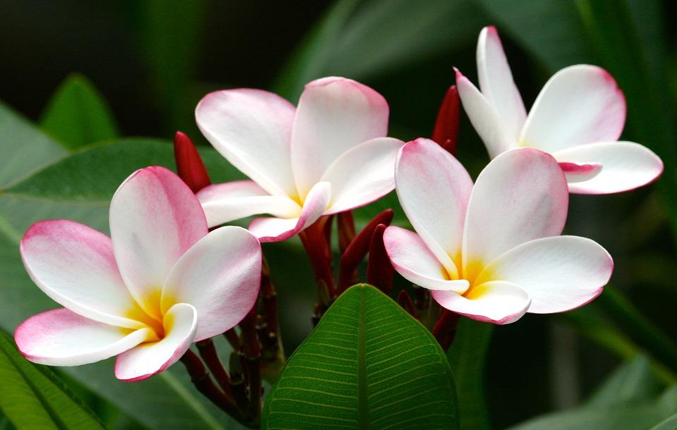 Vier witte met roze bloemen en een geel midden.